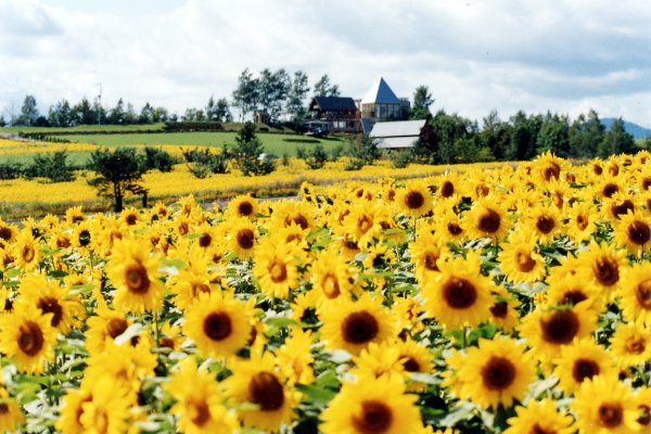 Sunflower Furano Japan Luxe Travel