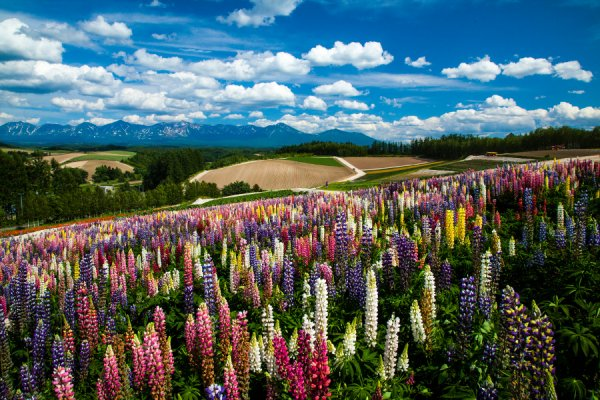 lavender Furano Japan Luxe Travel