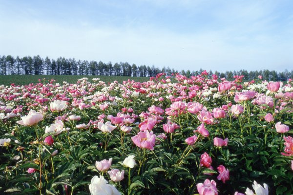 Peony field at Furano Japan Luxe Travel