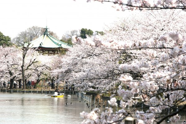 cherry blossom | tailor made trips