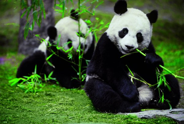 Embrace Panda | Six Senses Qing Cheng Mountain is now open!