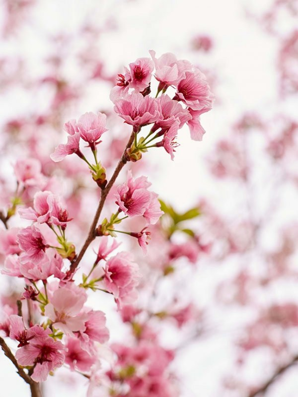 Latest Forecast  - Cherry Blossom | Japan | Luxe Travel