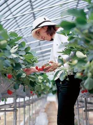 Enjoy Strawberry Harvest in Kyushu, Japan