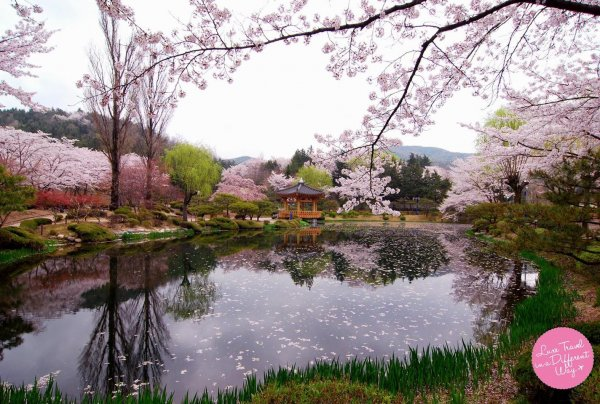 Cherry Blossom in Korea. BOOK NOW!