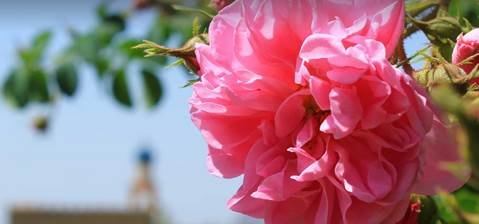 Rose Rose I Love You ...... | Discover The Gift of a Mountain Rose | LUXE TRAVEL