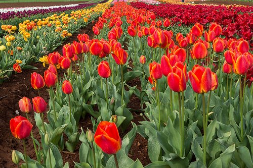 Bloomin' Tulips Festival | Tasmania, Australia | 10th Oct 2015